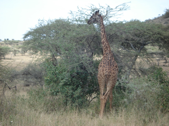 Giraffes were pretty commonplace. This taken from about 30 yrs away.